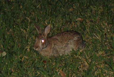 Demon Bunny